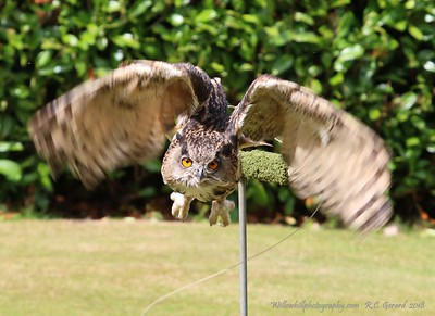 """Falconry  Scotland"" - Raptor Experience"