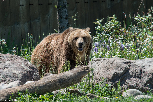 Montana Grizzly Encounter