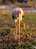 Portrait of a Yellow-billed Stork