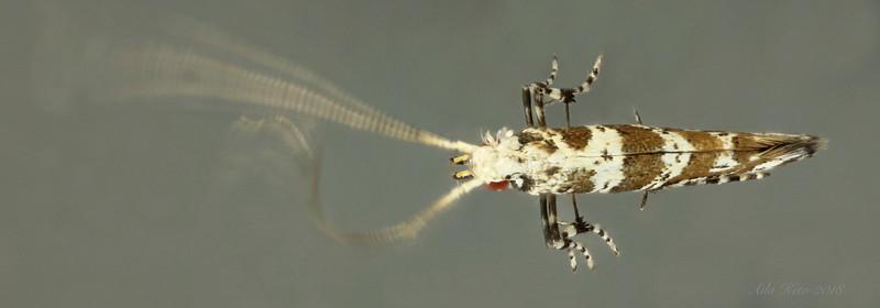Gracillariidae