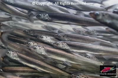 Sympatric non-salmonid biota