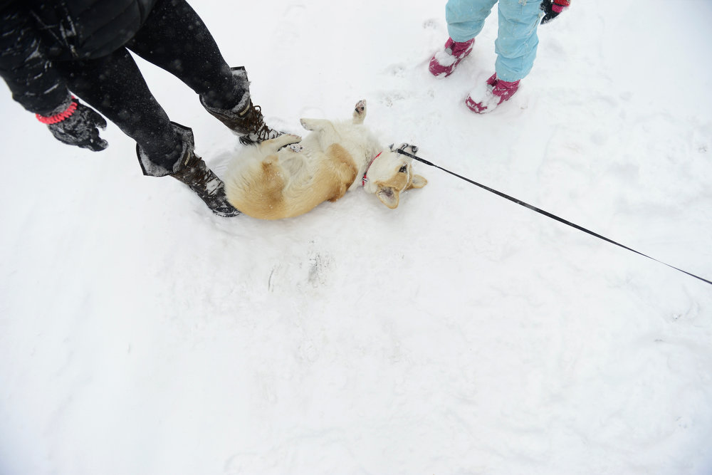 . Rosie (the corgi) plays in the snow while on a walk with Bob Goodyear (feet not pictured), Suzanne Martin and her granddaughter, Zoe Martin, in front of University Park Elementary in south Denver. Snow is expected to fall throughout the day. (Photo by AAron Ontiveroz/The Denver Post)
