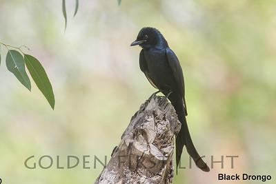 Black Drongo, Paddy Fields, Thailand