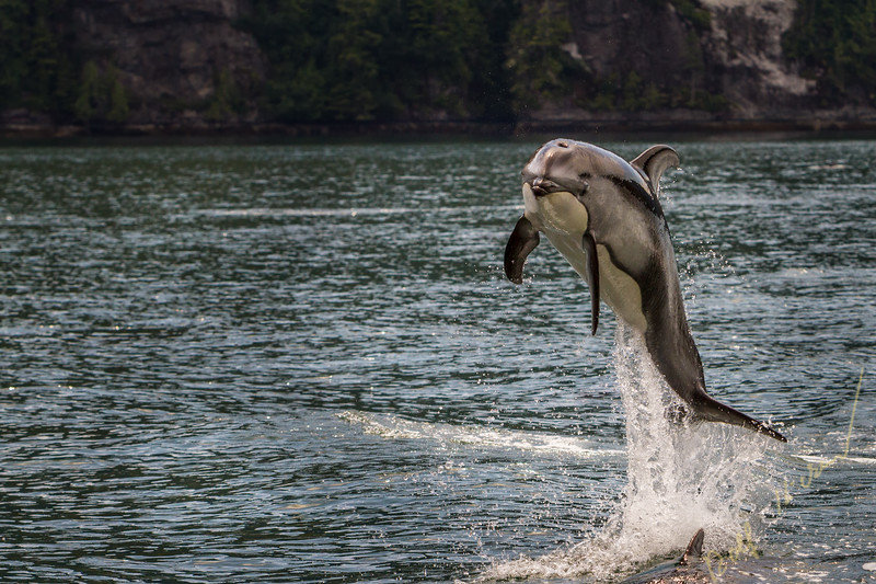 Pacific White Sided Dolphin (Lagenorhynchus obliquidens) jumping