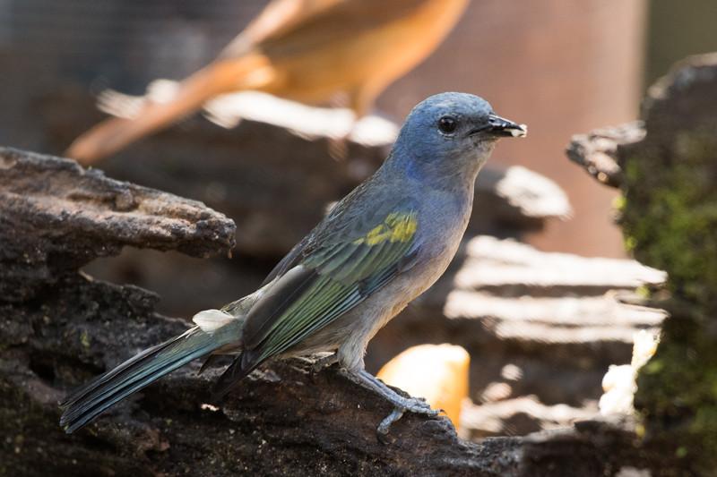 19-Sept Brazil Birds-6562.JPG