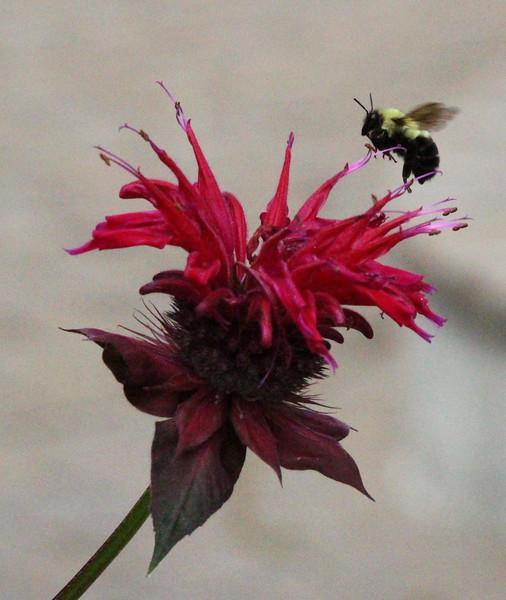 Bee balm and bee 1
