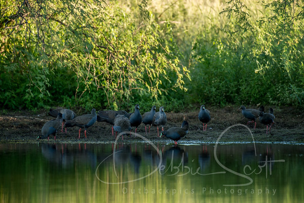 Swamphens, Coots