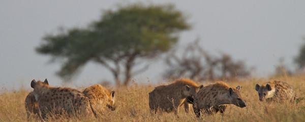 Carnivores: Hyaenas (Hyaenidae)