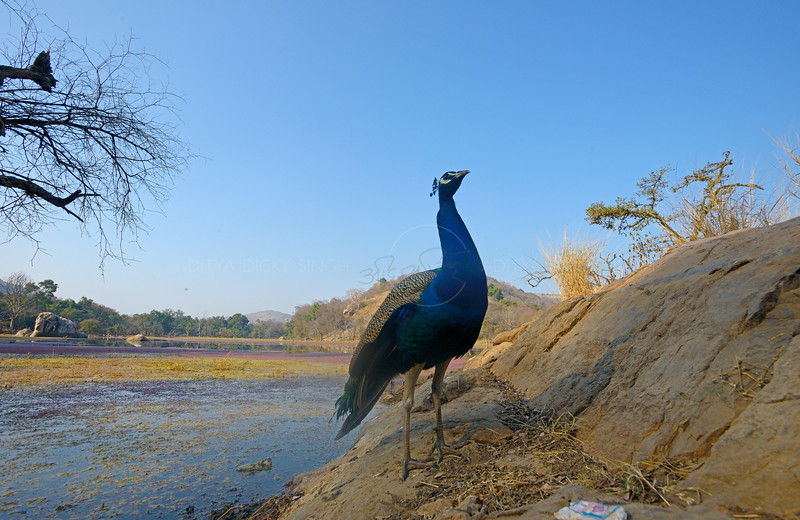 Indian Peafowl in the forests of Ranthambhorte