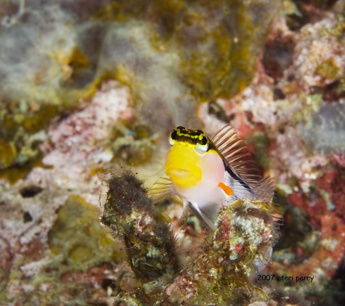 fish blenny 2.jpg