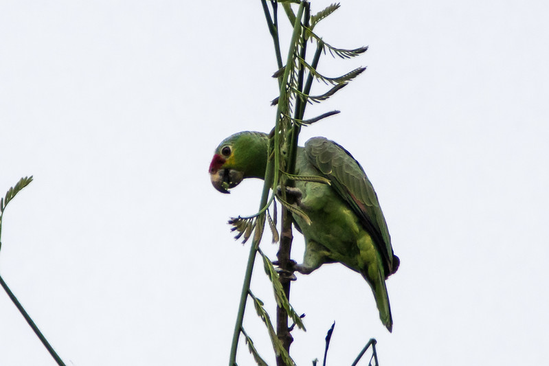 Red-lored Parrot, Chan Chich, Belize
