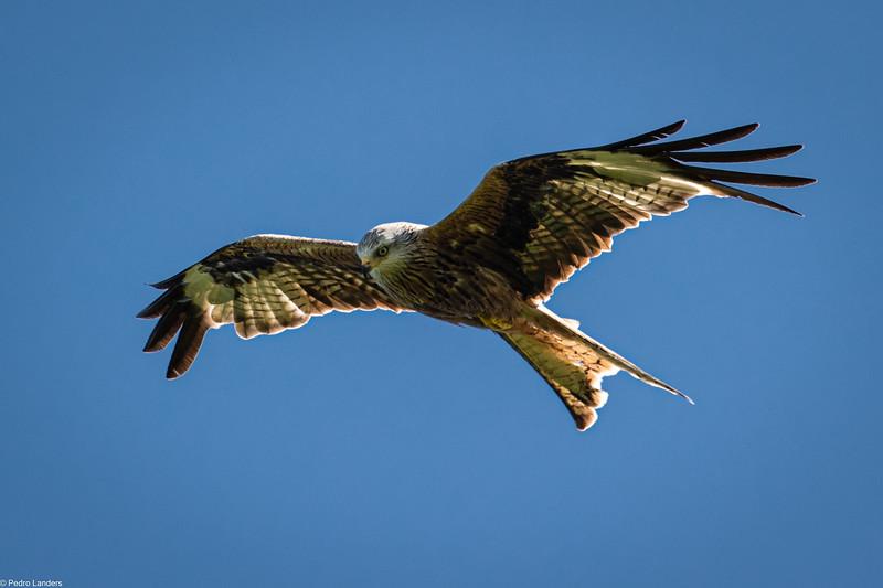Red Kite - Underside