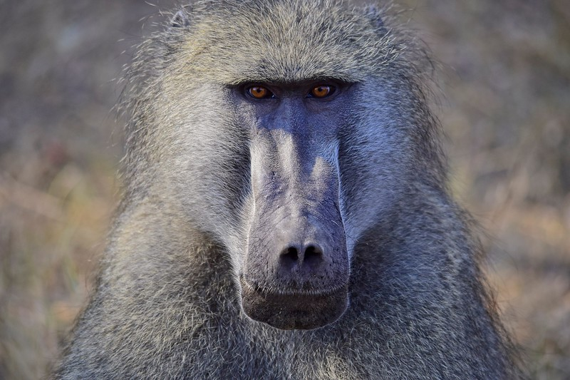 Chacma Baboon looking straight at you.jpg