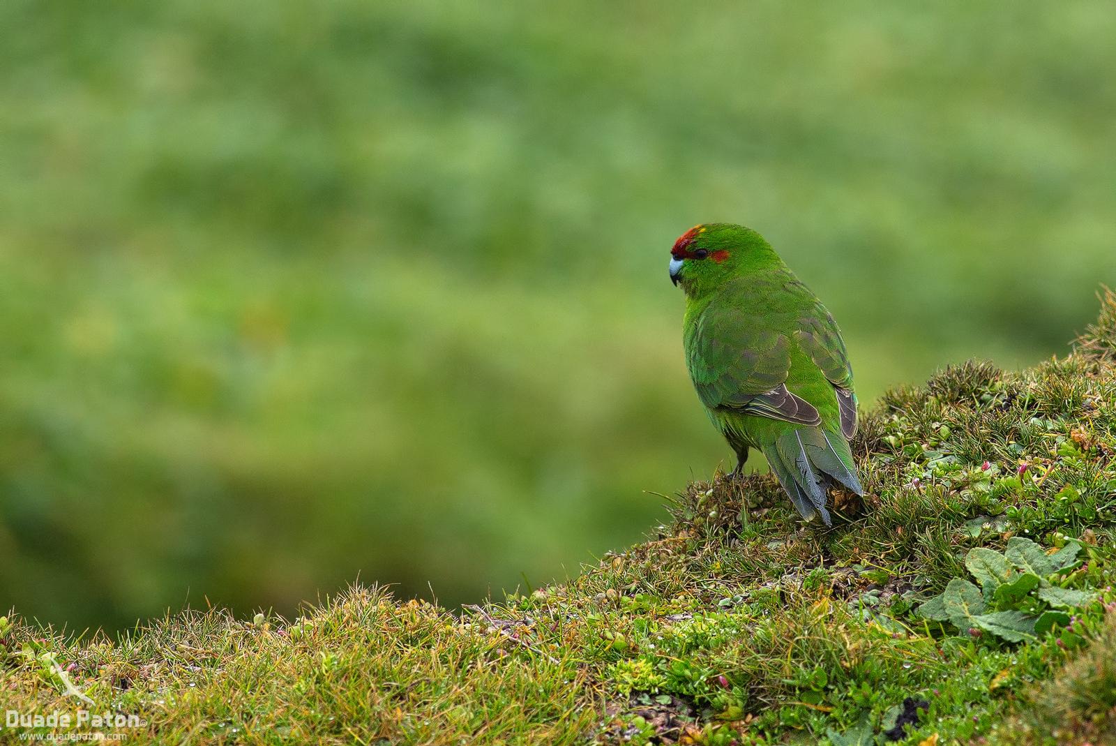 Red-crowned Parakeet