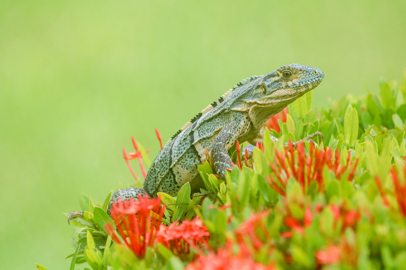 Iguana on a red flower posing