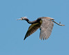 Tri-colored Heron Flying Over the Alligator Farm #2 05/14