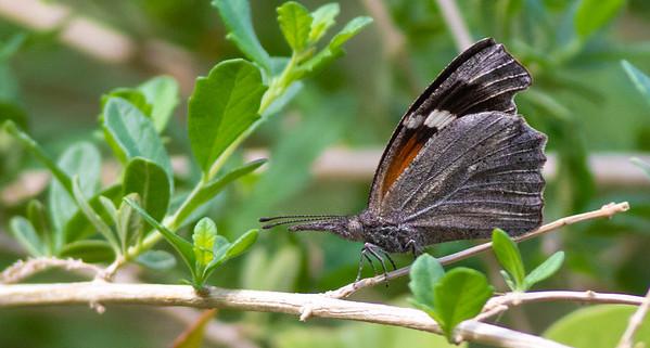 Snout (Libytheinae)