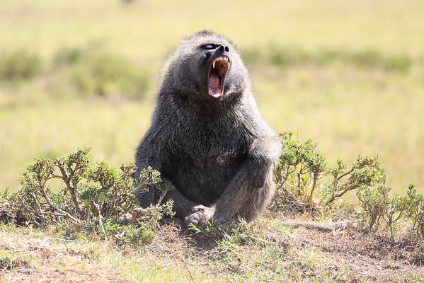 Baboons Mara Asilia Kenya 2015