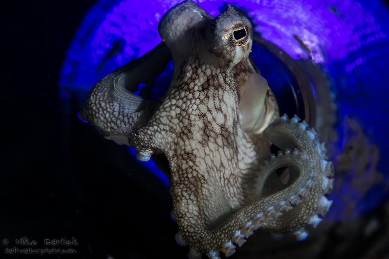 octopus in a bottle_kraken_blue (1 of 1).jpg