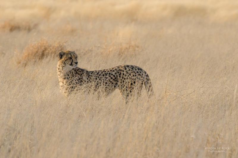 Cheetah, Etosha NP, Namibia, July 2011.jpg