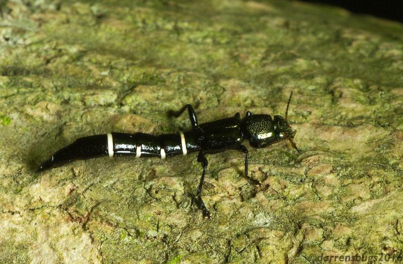 Rove beetle (Staphylinidae: Taenodema sp.) from Monteverde, Costa Rica.