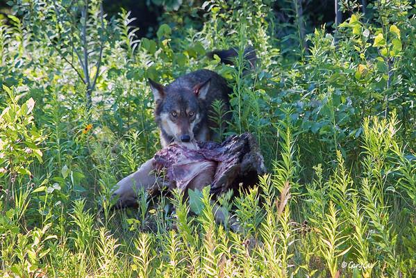 Timberwolf & Coyotes