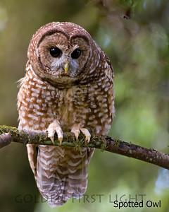 Spotted Owl, Arcata CA, USA