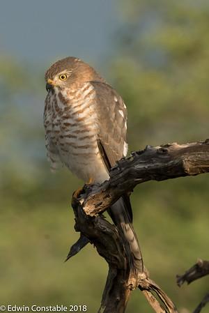 Accipiter minullus, Little sparrowhawk