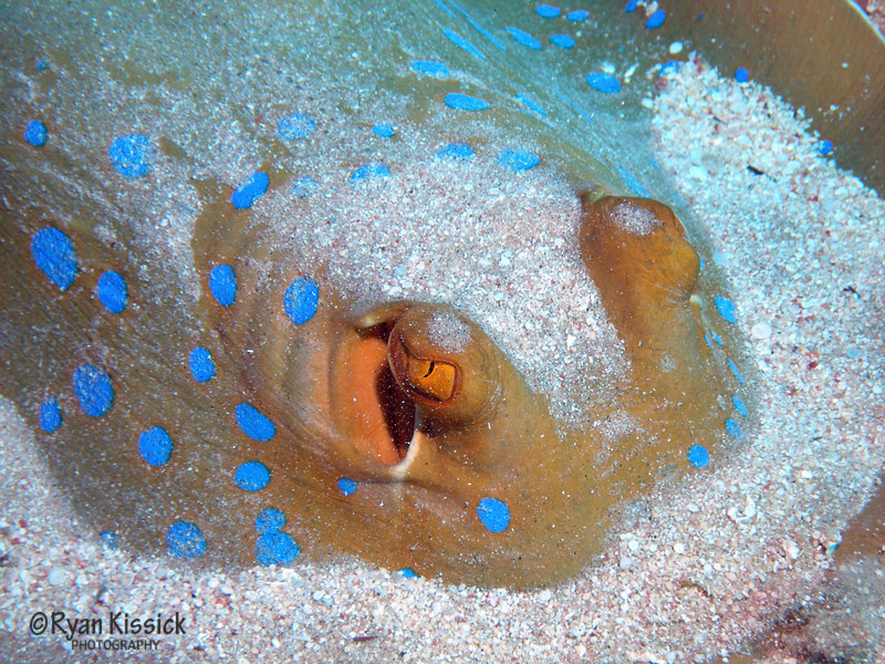 Face of a blue-spotted stingray