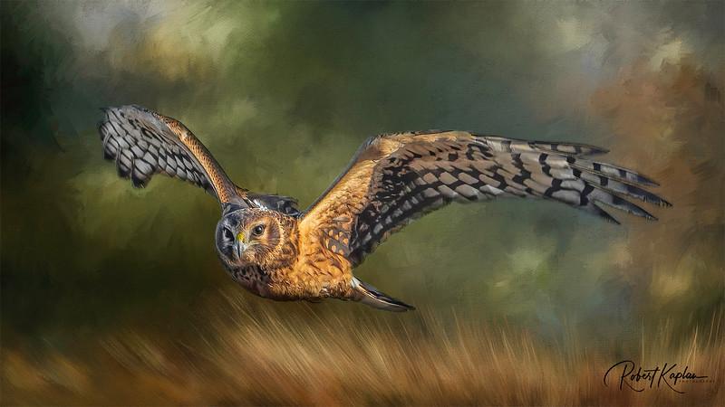 Harrier DeNoised_1449_Wildlifemasterpieces(1)_Multiply.jpg