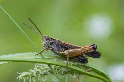 Grasshoppers, bushcrickets and crickets