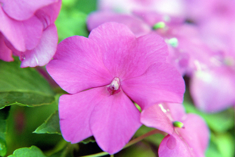 pink or violet impatiens flowers shooting macro for experimentation