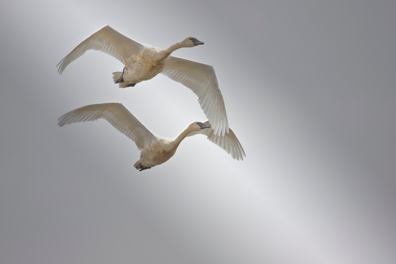 swans from heaven.jpg