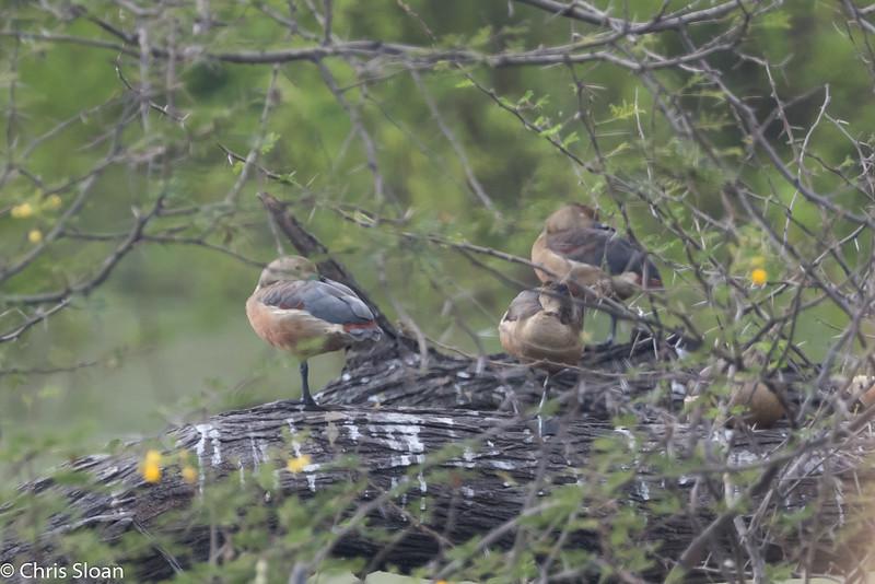 Lesser Whistling-Duck near Jallipatti, Tamil Nadu, India (02-28-2015) 062-143.jpg