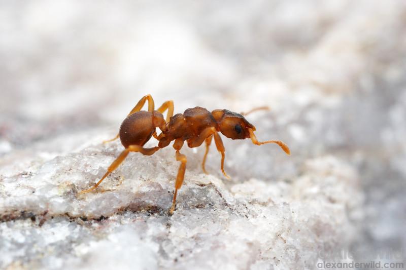 Cyphomyrmex flavidus  Sycamore Canyon, Arizona, USA