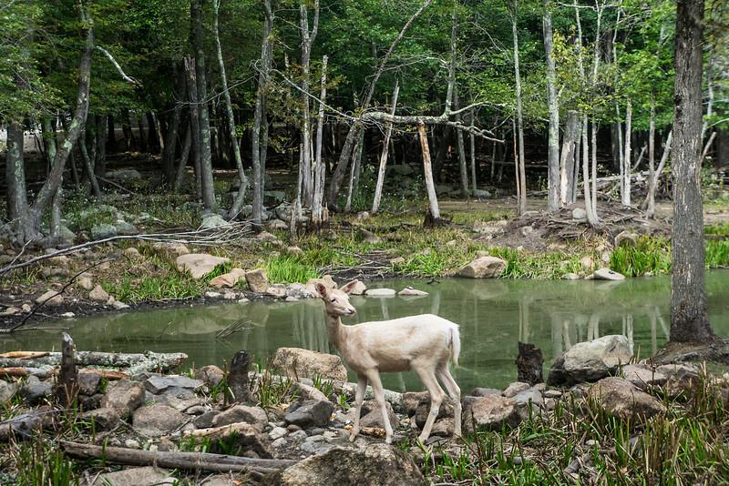 The Posing Deer