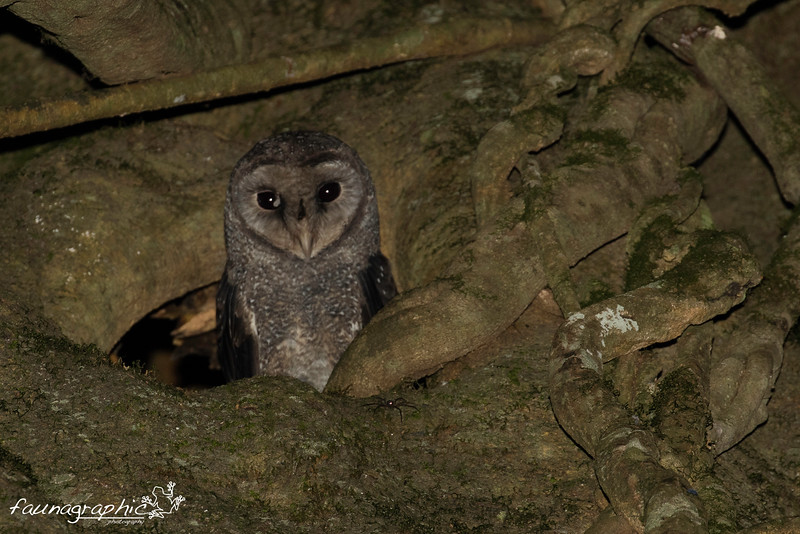 Sooty Owl