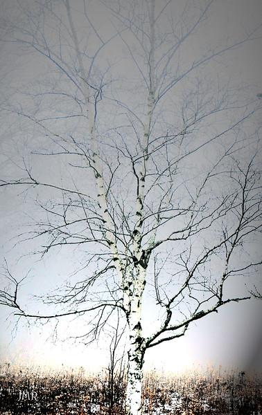 BIRCH TREE .jpg