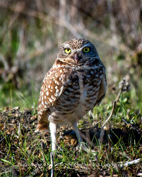 _DSC9867Burrowing owl.jpg