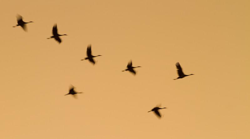 Sandhill Crane flock fly-in Crex Meadows Grantsburg WI IMG_0126.jpg