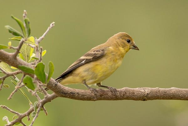 Lesser Goldfinch TR_DWL7078.jpg