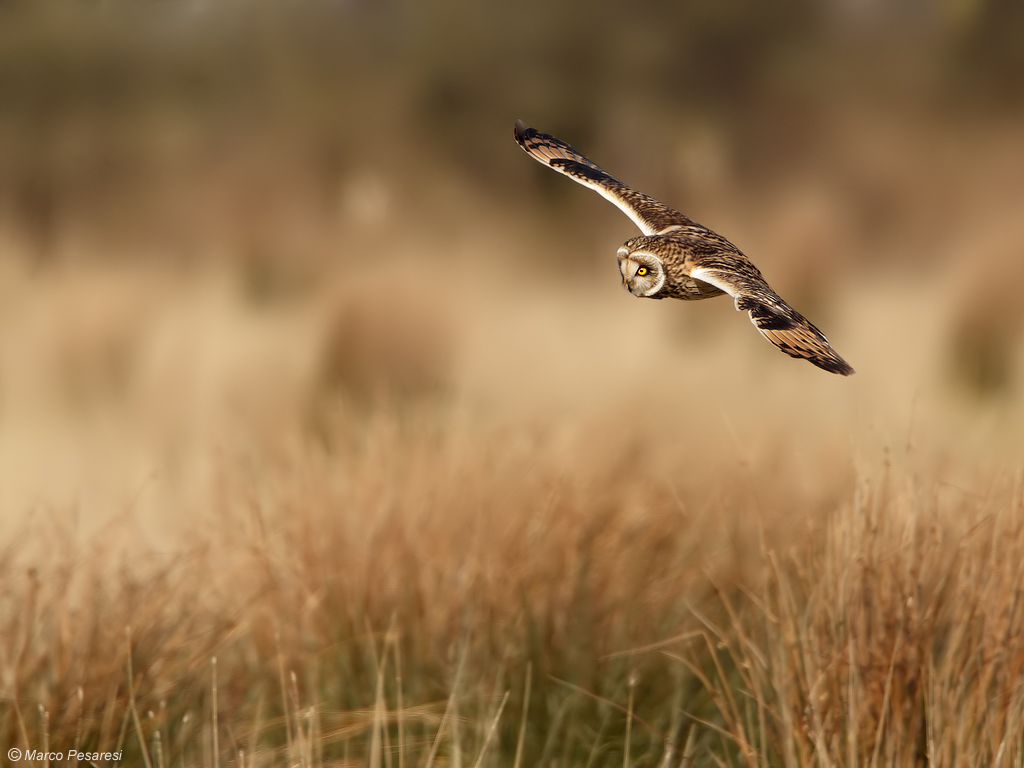 7. Short eared Owl