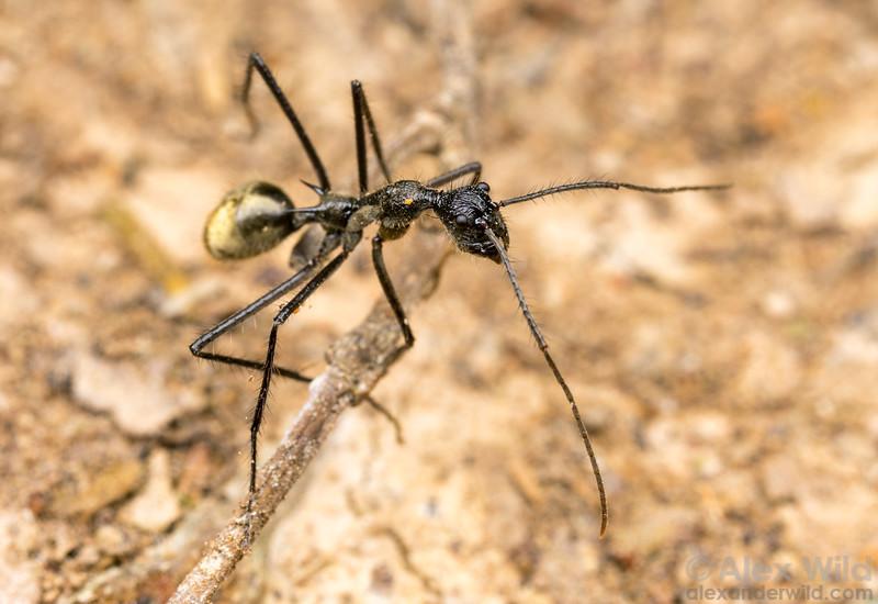 Dolichoderus rugosus