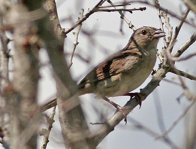 Bachmans Sparrow