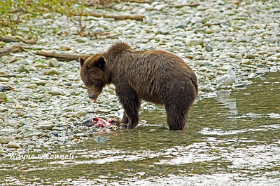 Wayne O'Connell - Grizzly Bear at Bute Inlet