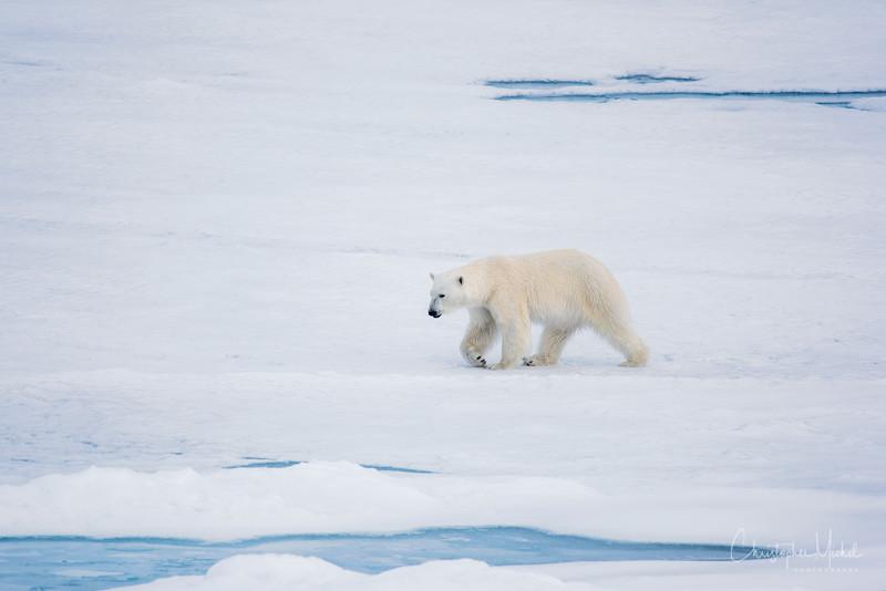 150630_Polar Bear at Ship_9559.jpg