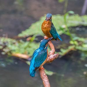Kingfishers - Isfugle