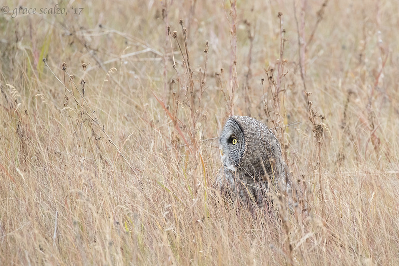 Great gray owl in grass