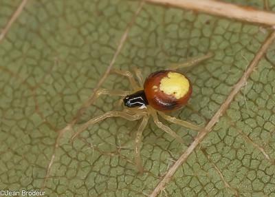 Famille Theridiidae( Cobweb Spiders )