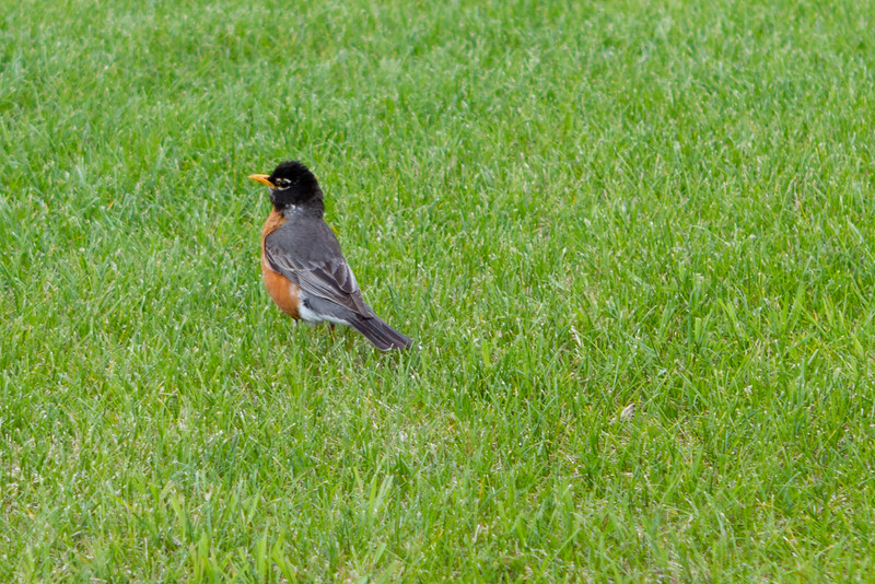 Mr. Robin keeps a close guard on the yard
